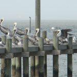 fairhope=pelicans